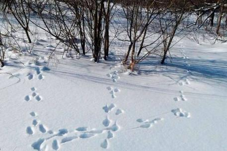 В охотничьих угодьях области завершается полевой этап зимнего маршрутного учета охотничьих видов животных