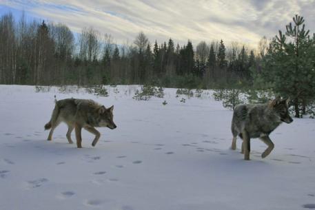 В области начались выплаты за добычу волка